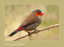 Orange-cheeked Waxbill by Jamie-MacArthur