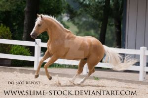 palomino quarter horse turn canter by slime-stock