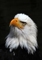 Bald Eagle 01b by s-kmp