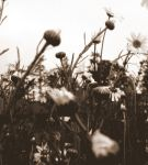 daisies sepia by addy-kiddo