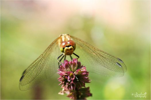 Dragonfly001 by ischarm