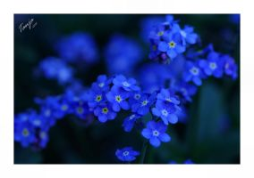 Forget-Me-Nots by Tanja0869