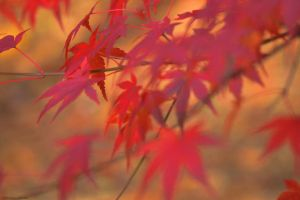 Japanese Maple Leaves by WickedOwl514