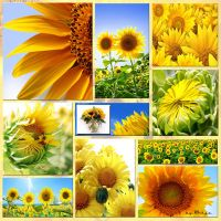 The Sunflower Collection by M10tje