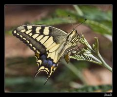 Papilio Machaon II by Topo1958