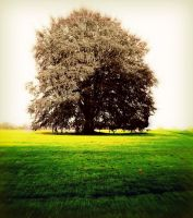 old tree by lucri