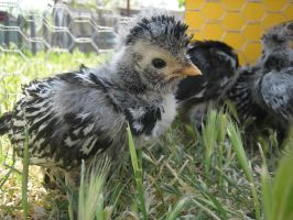 Baby Chicken by DanikaMilles