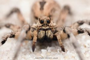182.Wolf spider by Bullter