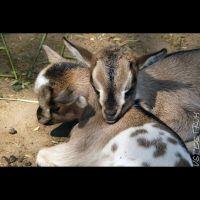 Animals 155 The domestic goat by cinnabarr