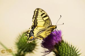 Papilio machaon 2 by case15