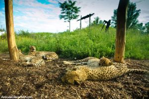 Siesta in Cheetah Family by amrodel