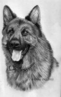 German Shepherd by orinoco1973