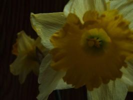 narcissus by mufficek