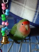 Lovebird with Purple Bell by pixipatrin