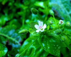 Greater Chickweed by floramelitensis