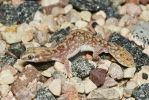 Fat-Tailed Gecko by ribbonworm