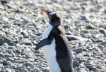 Antarctica :: 061 :: Gentoo Penguin by greenjinjo