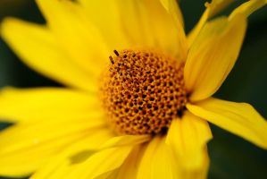 False Sunflower IV by Vanell-Photography