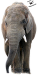 Cut-out stock PNG 51 - wise elephant walking by Momotte2stocks