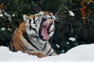 Siberian Tiger (018) - whiskers by Sikaris