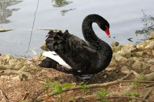 Black Swan by Frostdragon64