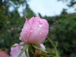 cute pink rose with raindrops by Mirly85