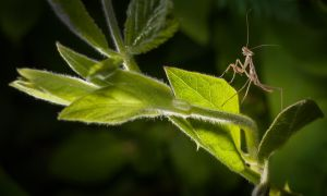 Mantis Out For A Stroll by drhine