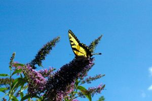Butterfly on a Lilac by MyDigitalSin