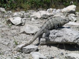 cancun lizard 1 by bipolargenius