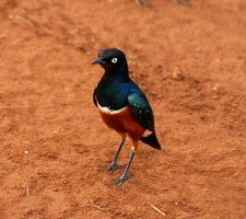 Little African Starling by Michelle-xD
