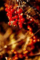 Red berries by oderycke