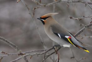 Bohemian Waxwing XII by Tucky13