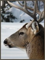 Whitetail Buck by papatheo