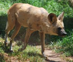 African Wild Dog Stock 5 by HymnsStock