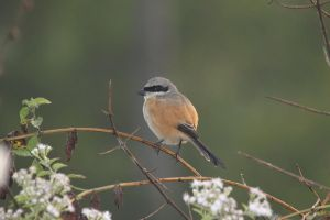 Red-backed Shrike 1 by RixResources