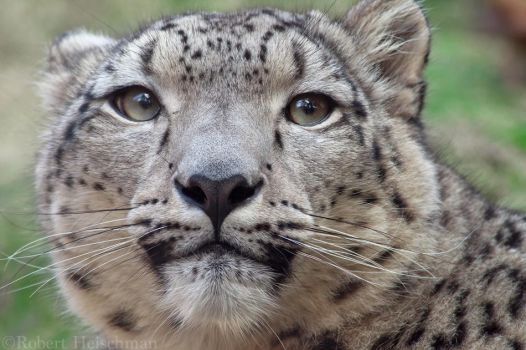 Snow Leopard 7730 by robbobert