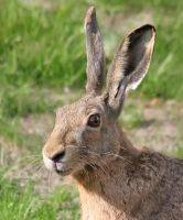 Hare In Your Face by TomiTapio