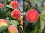 Garden Peaches by theresahelmer