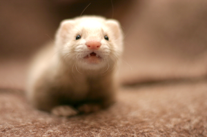 my little ferret by Sashe4ka