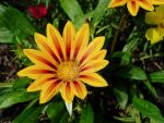 Yellow Gazania by lacampbell