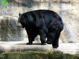 Black Bear Stock2 by Gnewi-Stock