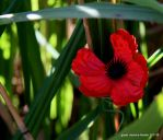 Plastique Red Poppy by Intergrativeone