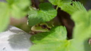 Frog by KrisSimon