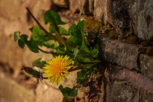 Dandelion by GMCollins