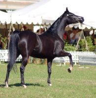 TW Arab black pawing leg up by Chunga-Stock