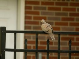 Mourning Dove June - 2014 - 26 - 1 by toshema