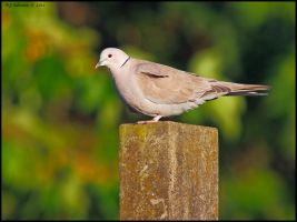 Collared Dove. by andy-j-s