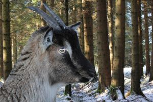 Forest of the Goats by derekbeattieimages