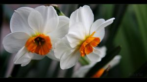 Narcissus by SouLitta