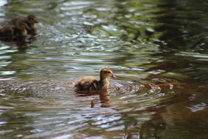 Duckling9 by eillahwolf